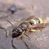 Wall Mason Wasp  - Ancistrocerus parietum