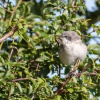 Lesser Whitethroat Sylvia curruca, 25/07/2015