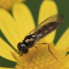 Chequered Hoverfly - Melanostoma scalare