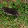 Water Shrew Neomys fodiens