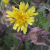 Bristly Oxtongue Helminthotheca echioides, 03/09/2015