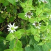 Water Chickweed Myosoton aquaticum