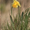 Cultivated Daffodil agg. Narcissus agg.