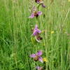 Bee Orchid  - Ophrys apifera
