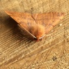 Feathered Thorn  - Colotois pennaria