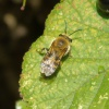 Colletes (Colletes) hederae | Ivy Bee