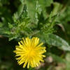 Bristly Oxtongue Helminthotheca echioides, 31/10/2016