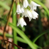 Allium triquetrum | Three-cornered Garlic