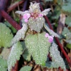 Red Dead-nettle - Lamium purpureum
