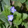 Common Field-speedwell Veronica persica, 19/02/2017