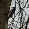 Dendrocopos major | Great Spotted Woodpecker