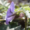 Common Dog-violet Viola riviniana