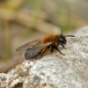Colletes (Pachycolletes) cunicularius | Vernal Colletes