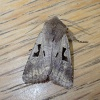 Orthosia gothica | Hebrew Character