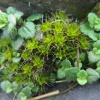 Great Hairy Screw-moss Syntrichia ruralis subsp. ruralis