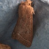 Orthosia cerasi | Common Quaker