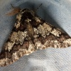 Biston strataria | Oak Beauty