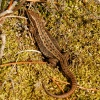 Zootoca vivipara | Common Lizard