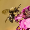 Melecta albifrons   Common Mourning Bee