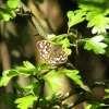 Speckled Wood Pararge aegeria, 18/04/2017