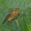 Yellow Dung Fly Scathophaga stercoraria, 18/04/2017