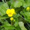 Caltha palustris | Marsh-marigold