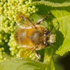 Anthophora (Anthophora) plumipes | Hairy Footed Flower Bee