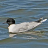 Hydrocoloeus minutus | Little Gull