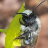 Andrena (Melandrena) cineraria | Grey Mining Bee