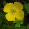 Welsh Poppy Meconopsis cambrica, 28/04/2017