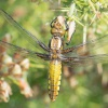 Broad-bodied Chaser Libellula depressa