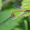 Large Red Damselfly Pyrrhosoma nymphula
