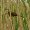 Reed Warbler Acrocephalus scirpaceus