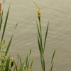 Lesser Bulrush Typha angustifolia