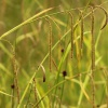 Pendulous Sedge Carex pendula