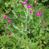 Rose campion Silene coronaria