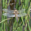 Four-spotted Chaser Libellula quadrimaculata, 24/06/2017