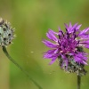 Greater Knapweed Centaurea scabiosa