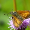Thymelicus sylvestris | Small Skipper