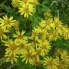 Common Ragwort Senecio jacobaea