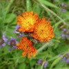 Fox-and-cubs Pilosella aurantiaca