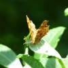 Polygonia c-album | Comma