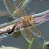 Brown Hawker Aeshna grandis