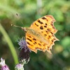 Comma Polygonia c-album