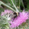 Four Coloured Cuckoo Bee Bombus sylvestris