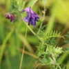 Tufted Vetch Vicia cracca