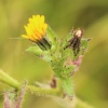 Bristly Oxtongue Helminthotheca echioides