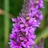 Purple-loosestrife Lythrum salicaria