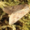 Scarce Bordered Straw Helicoverpa armigera