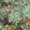 Parsley-leaved Bramble Rubus laciniatus